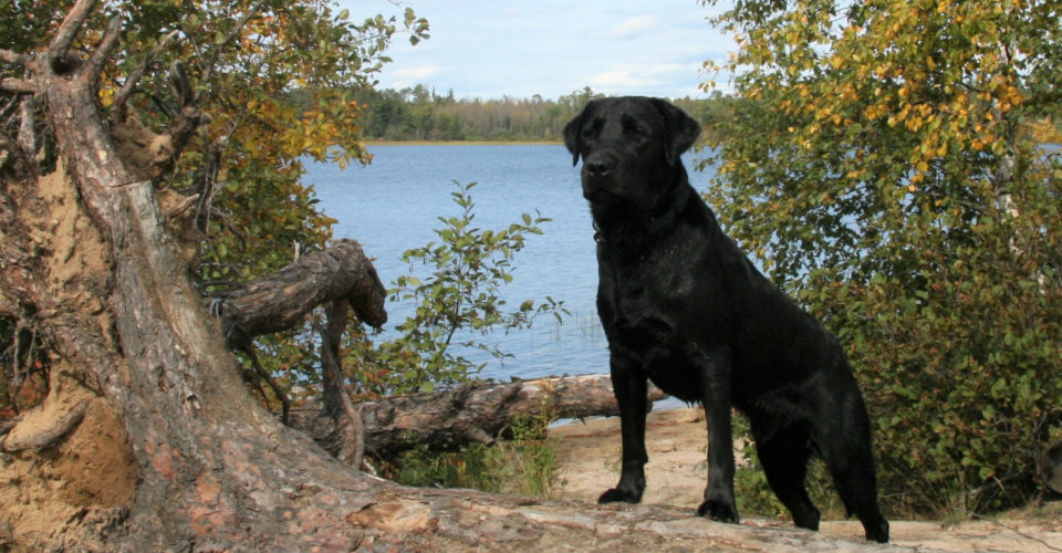 About Mn Labradors Lab Puppies For Sale In Mn